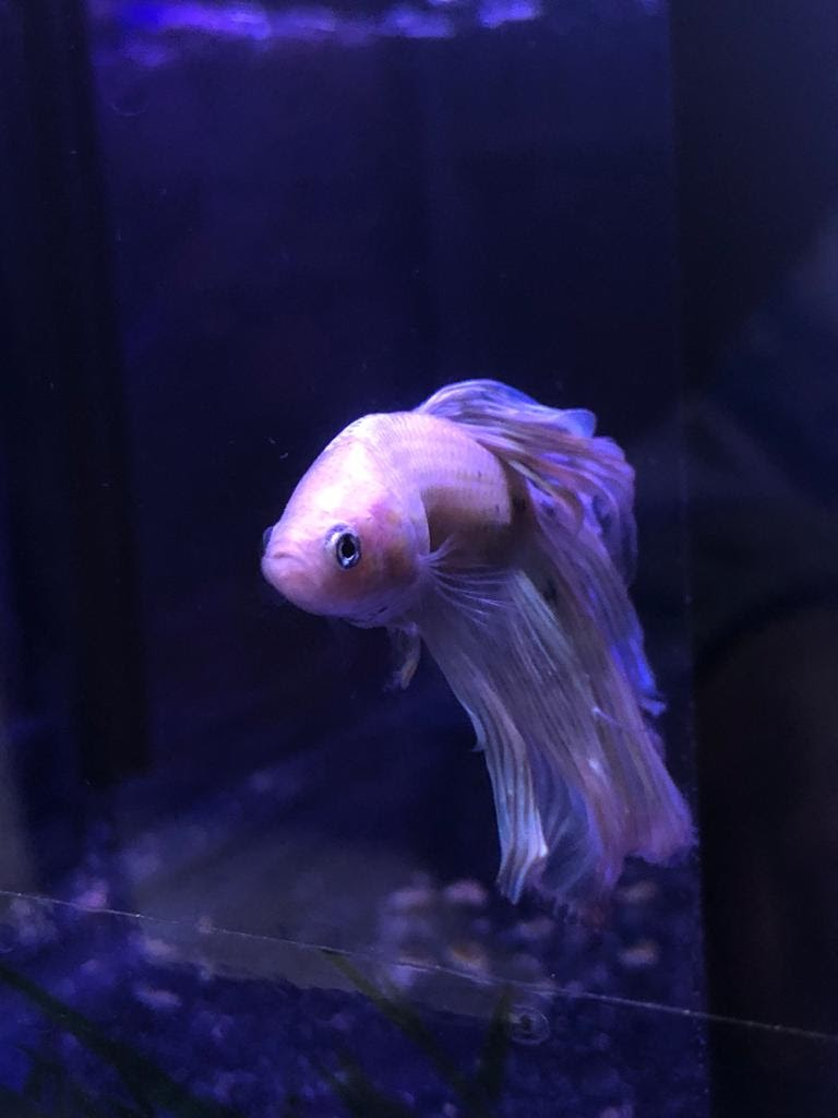peixe-beta-1