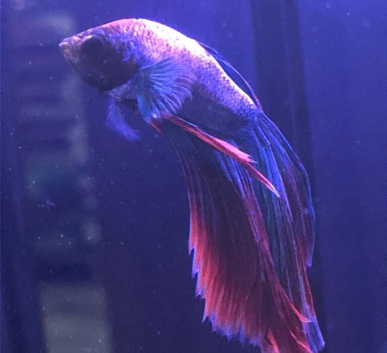peixe-beta-2